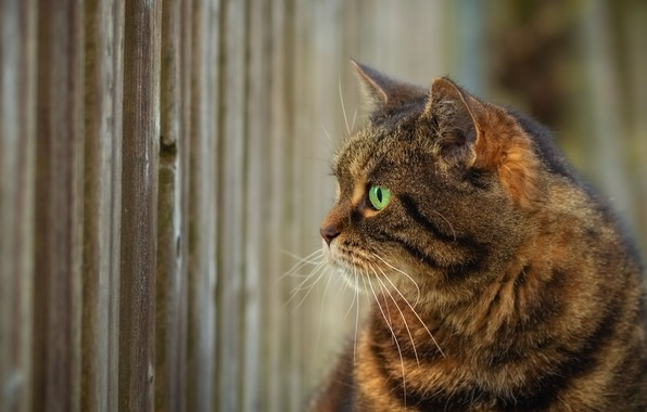Picture cat, look, the fence, profile