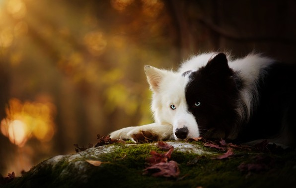 Picture autumn, leaves, light, nature, black and white, dog, lies, bokeh, the border collie