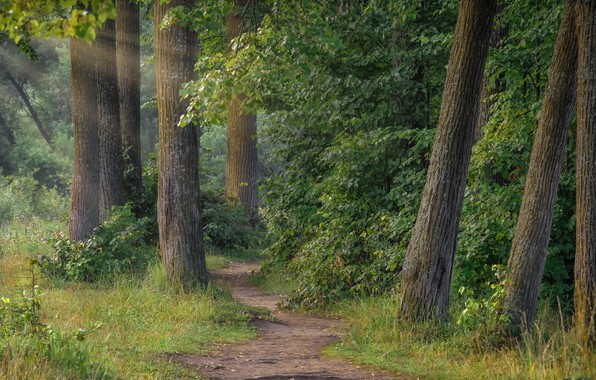 Picture forest, summer, grass, rays, trees, landscape, nature, trunks, morning, path, the bushes, Andrei