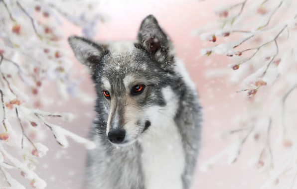 Picture background, each, dog, Laika