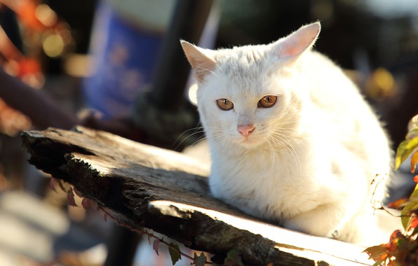 Picture autumn, cat, white, cat, look, face, light, nature, Board, bokeh, yellow eyes