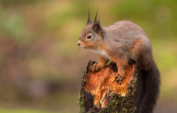 Picture nature, pose, background, stump, protein, squirrel, rodent