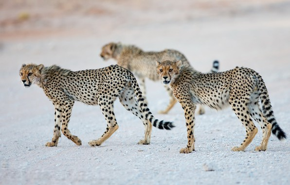 Picture nature, animals, Cheetah cubs