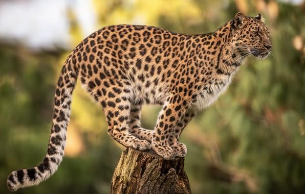 Picture background, stump, leopard, wild cat, bokeh