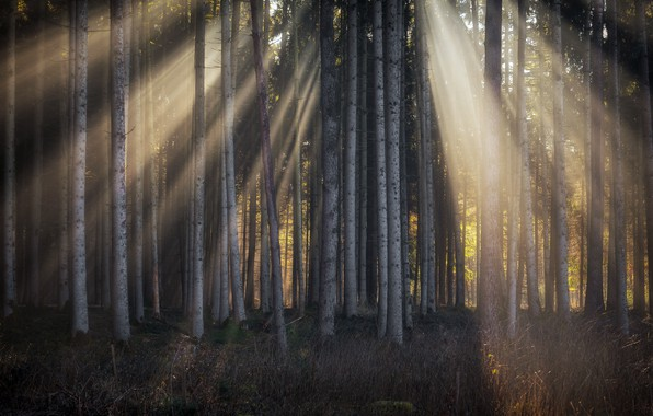 Picture forest, light, trees