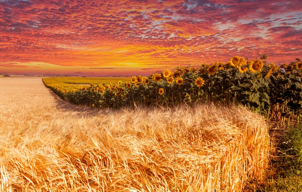 Picture field, summer, the sky, clouds, line, sunflowers, sunset, flowers, rye, treatment, dal, horizon, ears, cereals, …