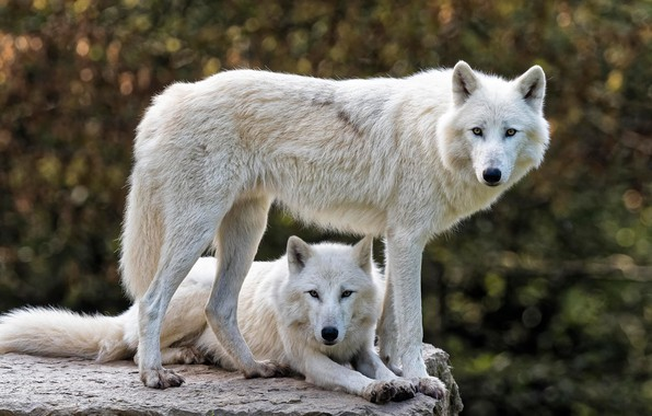 Picture white, look, face, nature, background, stone, wolf, pair, wolves, profile, two, two, bokeh, Arctic, polar, …