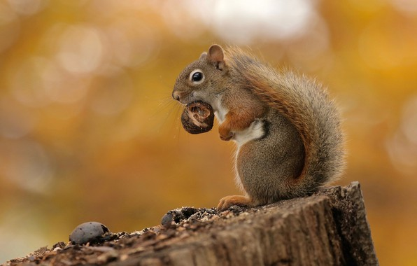 Picture background, stump, walnut, protein, rodent, pet