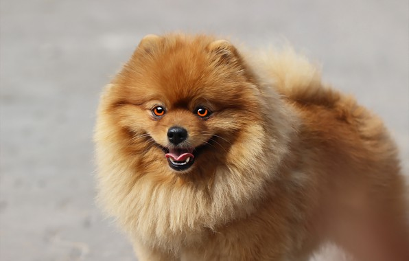 Picture language, look, background, each, dog, Spitz