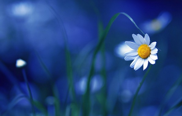Picture Nature, Flower, Blue, Wallpaper