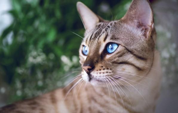 Picture look, portrait, muzzle, blue eyes, Bengal cat