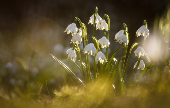 Picture spring, bokeh, Snowflake