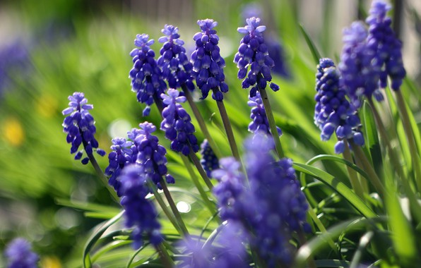 Picture greens, flowers, glade, blur, spring, blue, bokeh, Muscari, hyacinth mouse