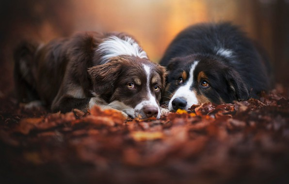 Picture autumn, forest, dogs, look, leaves, Park, background, mood, foliage, two, pair, a couple, Duo, friends, …