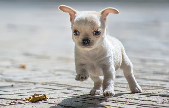 Picture baby, puppy, Chihuahua
