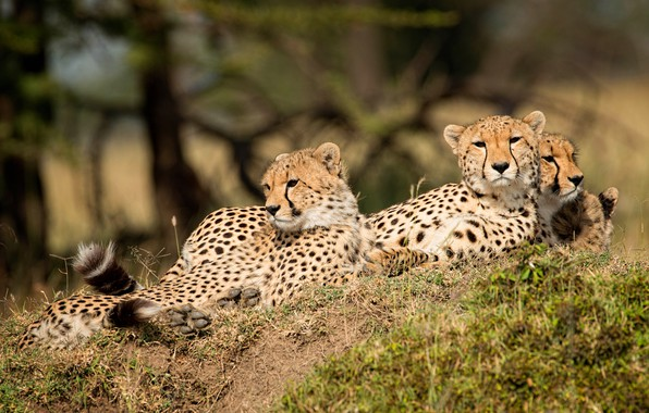 Picture look, branches, nature, pose, background, stay, Cheetah, wild cats, trio, family, lie, cheetahs, hill