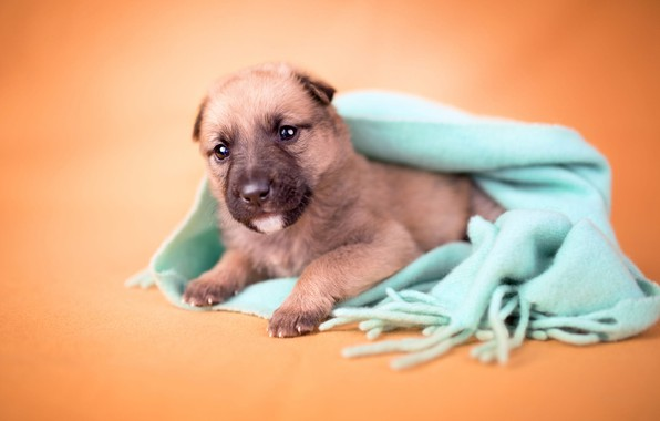 Picture look, orange, background, dog, blur, small, scarf, baby, puppy, lies, face, brown