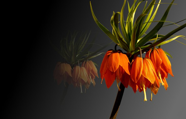 Picture background, plant, petals, the Imperial fritillary