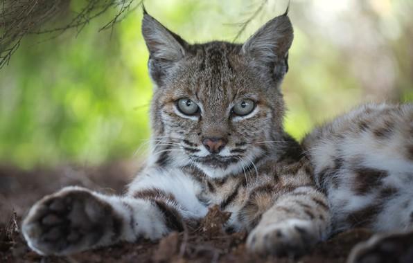 Picture look, face, portrait, lynx, wild cat, bokeh