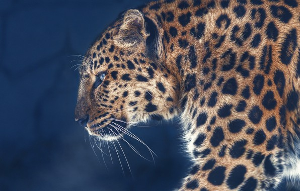 Picture background, portrait, leopard, profile, wild cat, Oleg Bogdanov