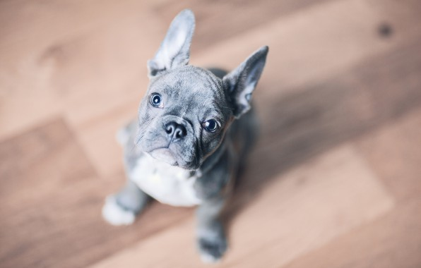 Picture look, background, dog, puppy, face, doggie, French bulldog