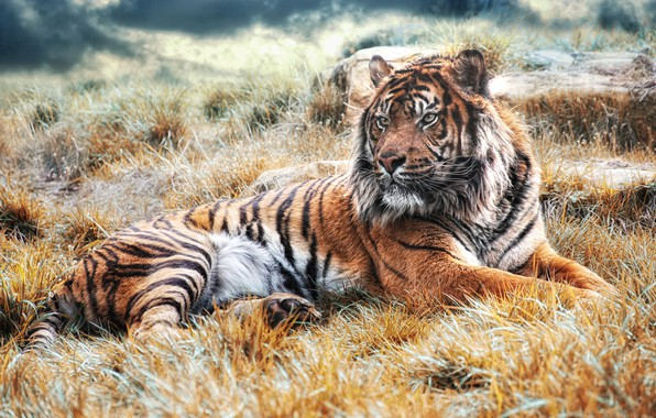 Picture grass, look, face, light, nature, tiger, pose, background, paws, lies, wild cat, handsome