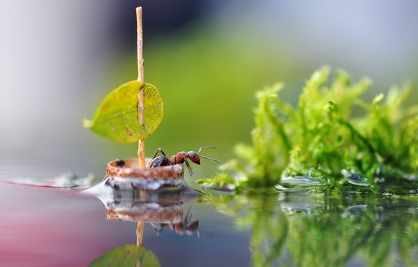 Picture water, macro, nature, sheet, reflection, sailboat, ant, sail, insect, boat