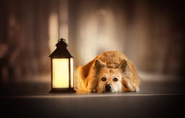Picture look, face, dog, lantern, bokeh