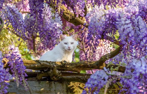 Picture cat, look, tree, white, Wisteria, Wisteria