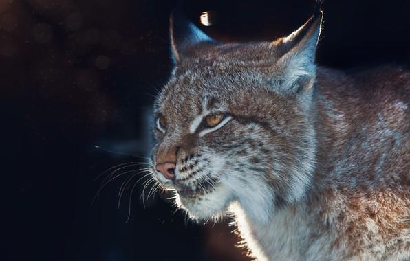 Picture face, background, portrait, lynx, wild cat, Oleg Bogdanov