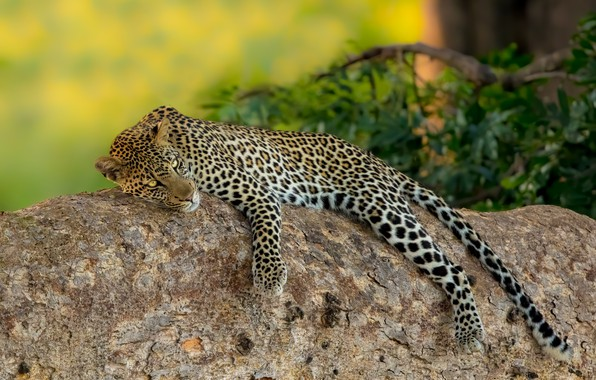 Picture stay, relax, stone, leopard, wild cat