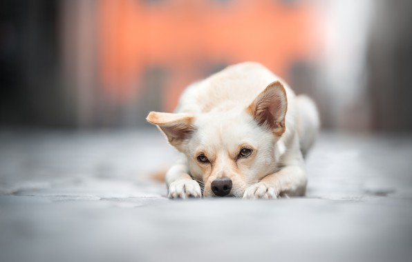 Picture sadness, look, face, dog, bokeh