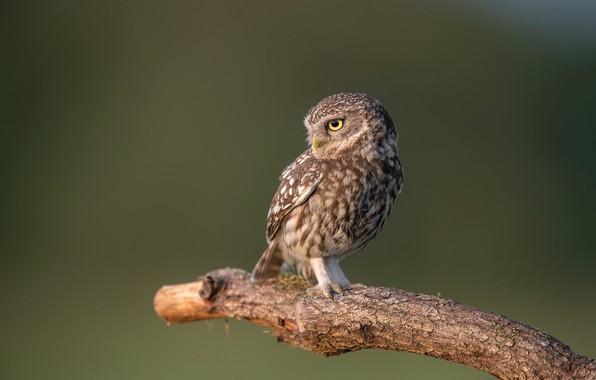 Picture nature, bird, Little Owl