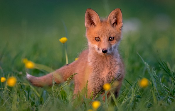 Picture grass, look, red, cub, bokeh, Fox