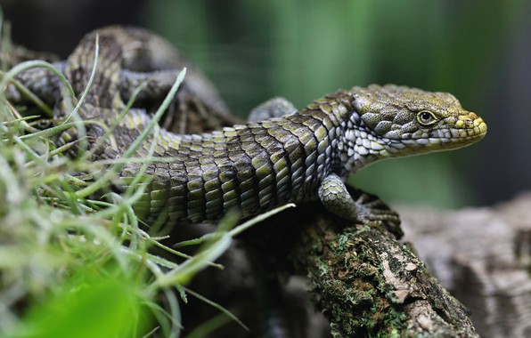 Picture grass, look, pose, background, branch, scales, lizard, bark, bokeh, reptile, blurred