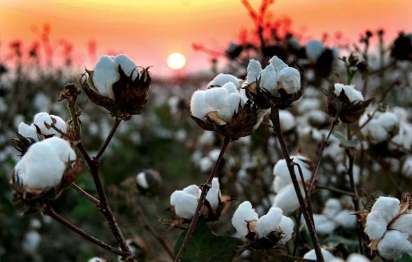 Picture field, sunset, branches, nature, cotton, fiber, wool, cotton, cotton