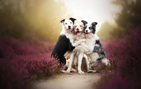 Picture dogs, trio, friends, bokeh, Trinity, Heather
