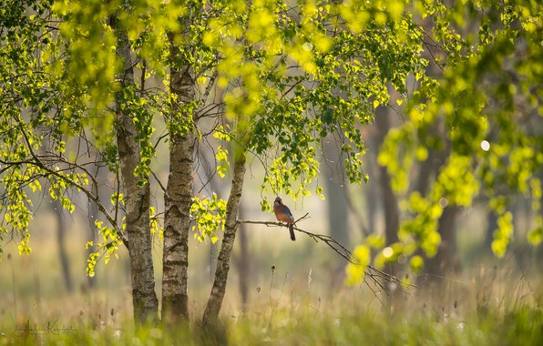 Picture light, branches, nature, tree, bird, foliage, focus, branch, Spring, birch, bokeh