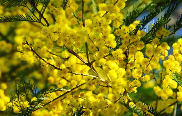Picture flowers, branches, bright, yellow, flowering, Mimosa
