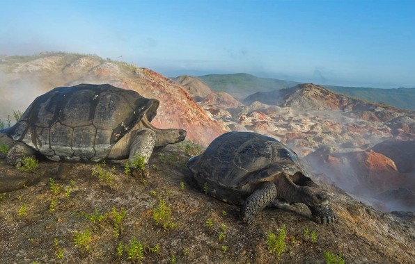 Picture Ecuador, The Galapagos Islands, giant turtle, the volcano Alcedo
