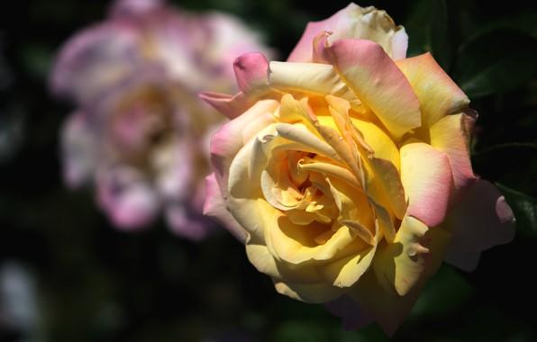 Picture drops, light, flowers, the dark background, rose, roses, orange, garden, yellow, lush