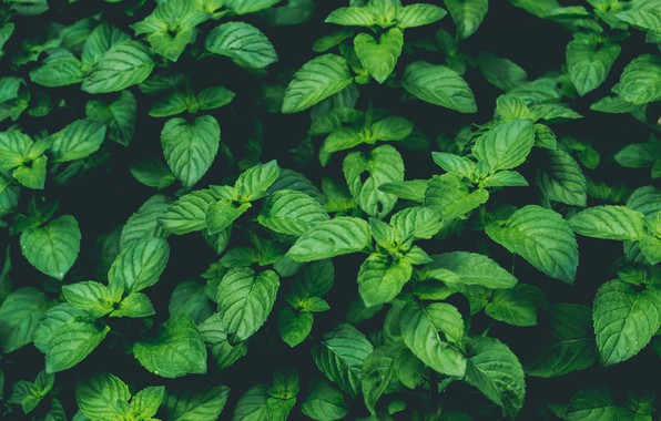 Picture Nature, Green, Wallpaper, Background, Macro, Mint, Plant