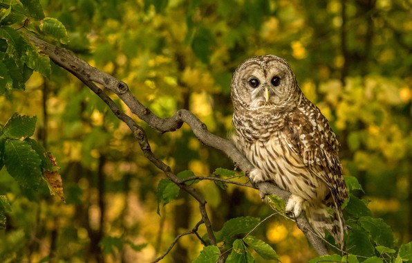 Picture owl, bird, branch, A barred owl