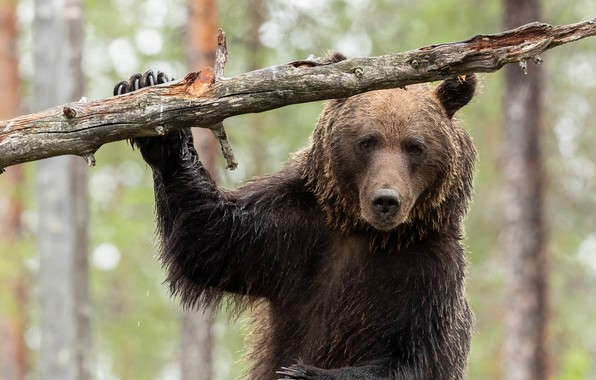 Picture look, face, bear, snag, The Bruins