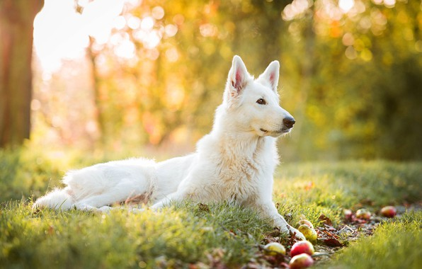 Picture autumn, grass, yellow, nature, background, apples, dog, garden, profile, white, Swiss shepherd dog