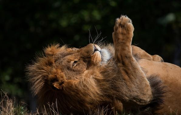 Picture summer, grass, nature, pose, the dark background, background, stay, paw, Leo, mane, lies, wild cat, …