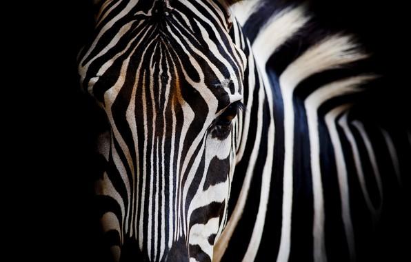 Picture white, black, eye, zebra