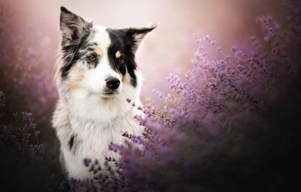 Picture look, face, dog, lavender, The border collie