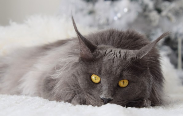 Picture winter, cat, cat, look, face, grey, background, new year, portrait, light, fluffy, lies, fur, yellow …