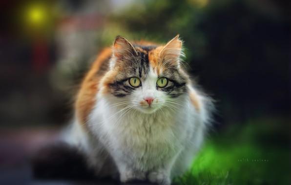 Picture cat, cat, look, muzzle, bokeh, cat